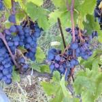 hailed grapes