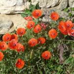 Poppy Spots