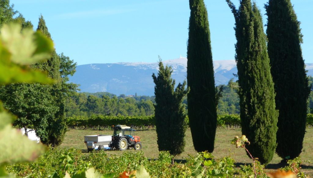 A view from the vines towards Mont Ventoux